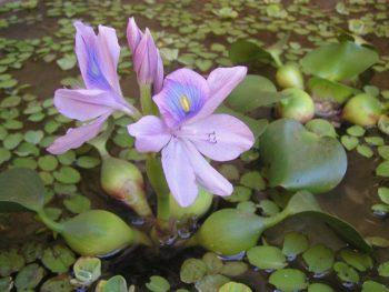 Eicchornia crassipes